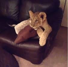 lion cubs watching tv lion king dora explorer