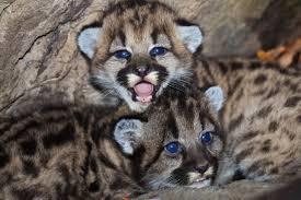 imagenes de leones salvajes gratis fotos gratis naturaleza linda fauna silvestre joven leopardo