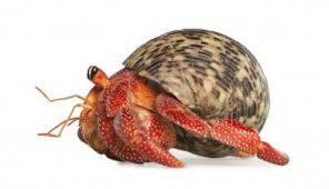 freehermitcrabcoloringpages within hermit crab coloring pages