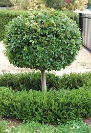 native hedging plants 25 best hedging plants images on pinterest hedging plants