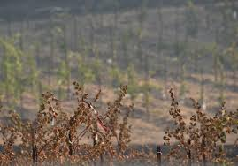How To Get Wildfire Cases Fast by Vineyards May Have Kept California Wine Country Wildfire From