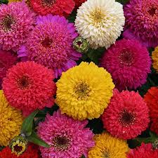 zinnia flower zinnia seeds 117 zinnias selection of annual flower seeds