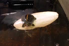 proper lighting for your turtle habitat