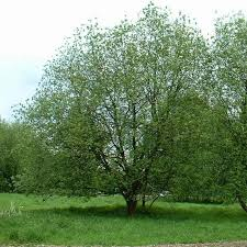 bare root willow trees for sale in shop now