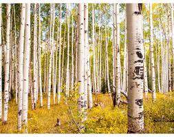 birch forest 3d wallpaper living room den bedroom officetv wall
