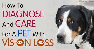 Can Stroke Cause Blindness Blindness In Dogs And Cats Indicate A Life Threatening Condition