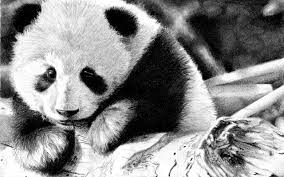 download wallpaper 2560x1600 panda color face black and white