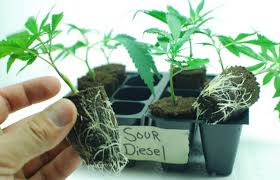How Far Away Should Marijuana by Worldwide Indoor Marijuana Grow Guide The Best And Easy Way