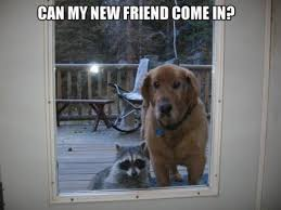 Funny Raccoon Meme - can my new friend come in cute dog pictures