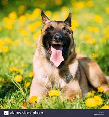 belgian malinois dog funny happy smiling malinois dog sit outdoors in green spring