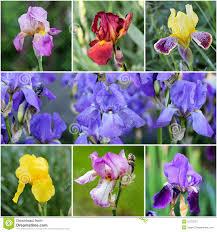 iris flowers iris flowers stock image image of bearded iris 55753737