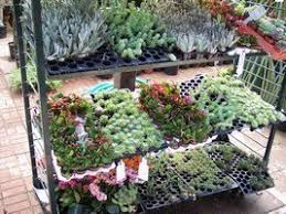 cheap and easy succulents personal recommendations dave u0027s garden