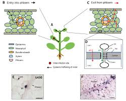 Viroid Diseases In Plants - viruses free full text viroid intercellular trafficking rna