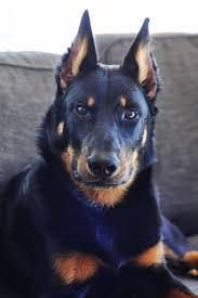 australian shepherd zucht bayern best 25 chien beauceron ideas on pinterest alimentation chiot