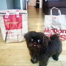 affenpinscher good bad puppy was so excited by mcdonald u0027s delivery he couldn u0027t keep his