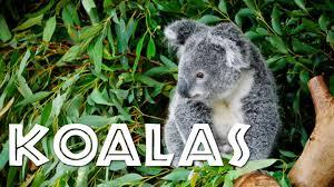 koalas kids koalas children freeschool