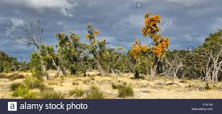 australian christmas trees nuytsia floribunda growing in west