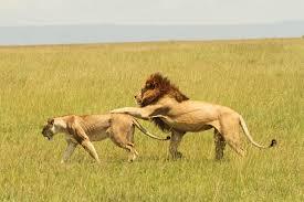 lion lioness u2013 royal couple tail fur