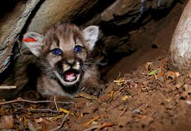 California Mountains images 4 new mountain lions kittens found in california mountains the jpg