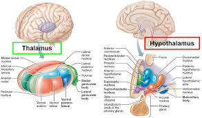anatomy of thalamus image collections human anatomy learning