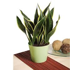 snake plant non flowering house plant 30 in indoor plants