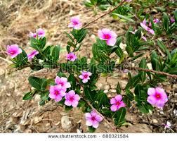 Vinca Flowers 100 Vinca Flowers U0026quot Vinca Flower U0026quot Stock