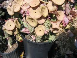 native plant seeds for sale hoodia gordonii plants seeds cuttings powder and crystal from