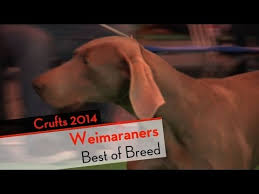 affenpinscher crufts 2014 weimaraner breed video funnydog tv