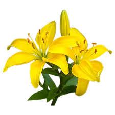 yellow lilies flower facts lilium grower direct fresh cut flowers
