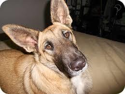 belgian malinois breeder california coyote adopted dog marlene coyote mallinoismix el cajon ca