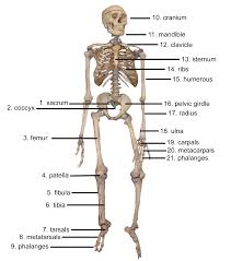 human skeleton system with bone divisions of the skeletal system