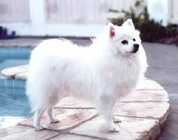 how big is american eskimo dog american eskimo dog appearance temperament behavior