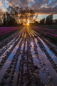 Skagit Valley Tulip Festival Bloom Map Skagit Valley Tulip Fields North Western Images Photos By Andy
