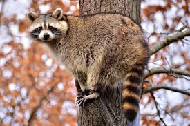 raccoon facts history useful information and amazing pictures