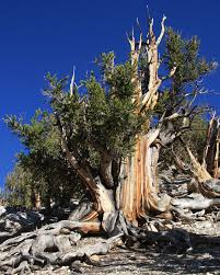great basin native plants pinus longaeva wikipedia
