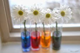 dying flowers with food coloring experiment best flower in the
