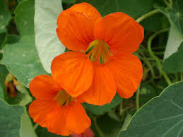 Best Plants For No Sunlight Nasturtium How To Plant Grow And Care For Nasturiums The Old