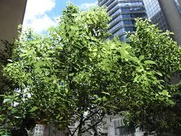 file hk wan chai hennessy road the wesley tree july 2012 jpg