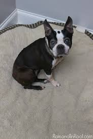 How Do You Get The Urine Smell Out Of Carpet Get Pet Stains And Odors Out Of Your Carpet Without Chemicals