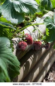 Strawberry Bed Strawberries Growing In A Raised Bed On An Allotment Stock Photo