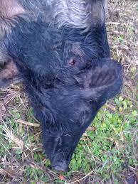 wild hog killing with black powder pistols backyard deer hunting