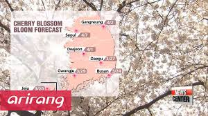 Cherry Blossom Map Spring Flowers In Korea Bloom Early Youtube
