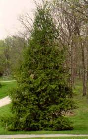 tree stock hoss tree farm big trees for less money family