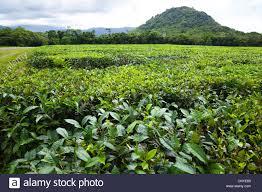 tea plant camellia sinensis thea sinensis tea plantation stock