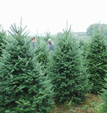 christmas tree prices wholesale christmas trees