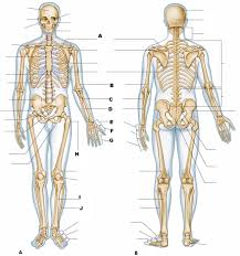 Human Anatomy And Physiology Study Guide Pdf Anatomy Bones Study Guide Bone Test Anatomy And Physiology Anatomy