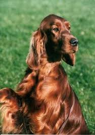 irish setter male dog names ohhhh basket of puppies oh i love these sweet babies danes