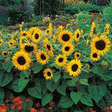 sunflower pictures sunflower dorrit f1 seeds from mr fothergill s seeds and plants