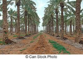 stock image of agriculture of ornamental palm trees rows