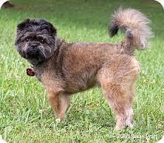 affenpinscher rescue seattle bedford va brussels griffon mix meet chico a dog for adoption